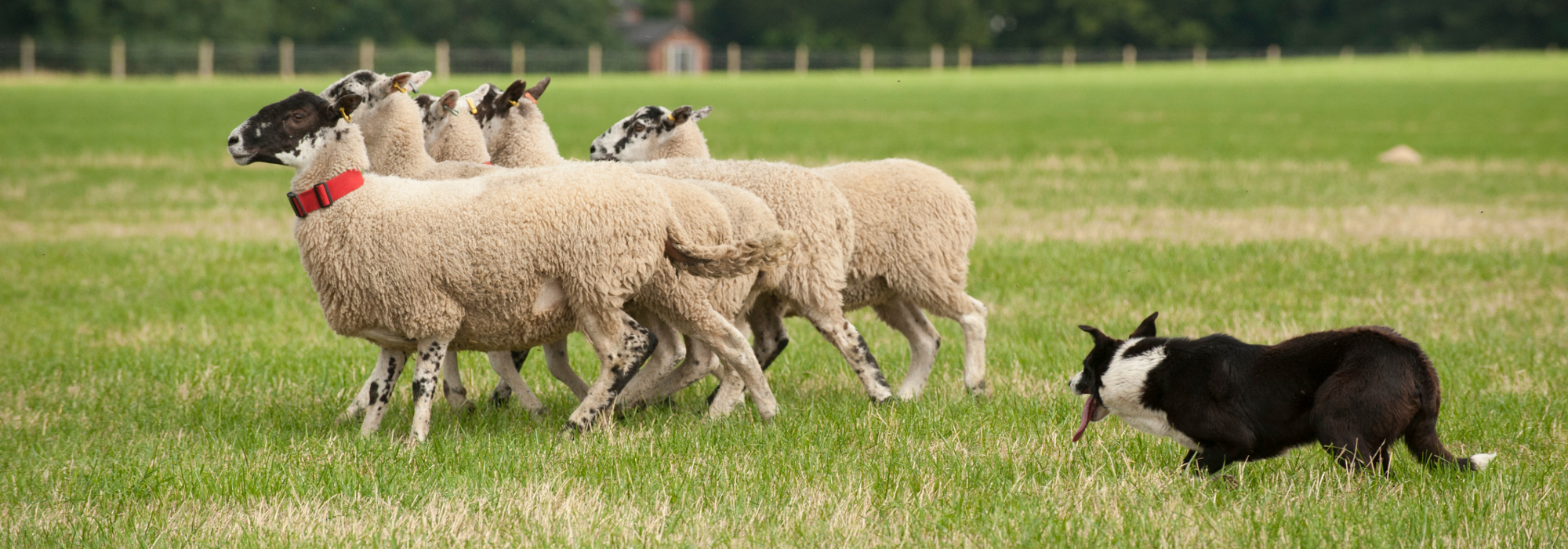 The International Sheep Dog Society World Trials